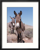 Wild Burro  Arizona/Nevada  USA  North America