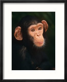 Baby Chimpanzee Portrait  from Central Africa