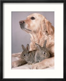 Golden Retriever  and Young Domestic Rabbits