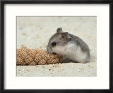 Young Dwarf Hamster Eating Millet