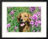 Golden Retriever Amongst Meadow Flowers  USA