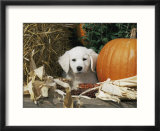Golden Retriever Puppy (Canis Familiaris) Portrait with Pumpkin