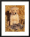 Golden Retriever Puppy with Decoy Duck  USA