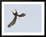 Bald Eagle Dive for Prey  Homer  Alaska  USA