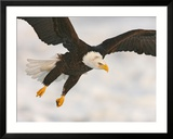 Bald Eagle in Landing Posture  Homer  Alaska  USA