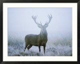 Red Deer (Cervus Elaphus) Stag at Dawn During Rut in September  UK  Europe