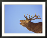 Red Deer Stag  Highlands  Scotland  UK  Europe