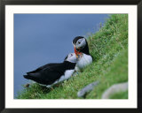 Puffin Pair (Fratercula Artica) Billing  Shetland Islands  Scotland  UK  Europe