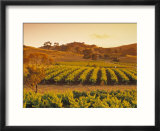 Vineyard  Barossa Valley  South Australia  Australia