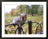 Grey Squirrel  St James Park  London