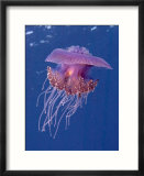 Jelly Fish  St Johns Reef  Red Sea