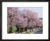Prunus Cerasifera &quot;Pissardii&quot; Lining a Road with Blossom in Spring