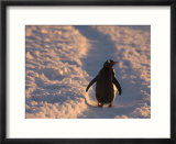Gentoo Penguin Rests on Trail Towards Colony on Petermann Island  Antarctic Peninsula