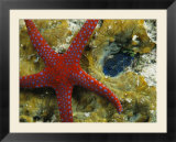 Brightly-Colored Starfish near a Small Imbedded Clam
