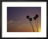 Sunset And Palm Trees  Laguna Beach  CA