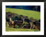 Deer Farm  Banks Peninsula  Canterbury  New Zealand