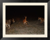 Two African lions close in on an impala