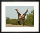 Kruger National Park  South Africa  Giraffe