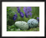 A speckled thick-billed murres egg nestled among purple wildflowers