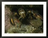 An American lobster in an aggressive stance