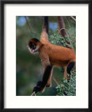 Young Spider Monkey Hanging from Tree in the Curu Biological Reserve  San Jose  Costa Rica