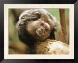 A black tufted-ear marmoset clings to a tree branch