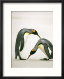 A Pair of King Penguins in a Courtship Bow