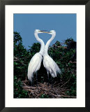 Great Egrets in a Courtship Ritual at Nest