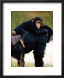 Baby Chimpanzee Lying on Mother's Back (Pan Satyrus)  Miami  USA