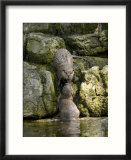 Asian Short Clawed Otters  Pair of Otters Greeting on a Waterfall  Earsham  UK