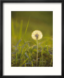 Dandelion in Evening Light  Scotland