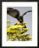 Snail Kite at Top of Tree with Apple Snail  Brazil