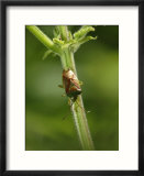 Hawthorn Shield Bug on Umbellifer  Middlesex  UK