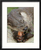 European Otter  Eating Salmon  Sussex  UK