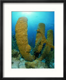 Tube Sponges  Belize  Central America