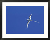 Red-billed Tropicbird  Galapagos Islands  Ecuador