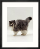 Domestic Cat  Blue Bicolour Persian Male