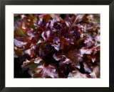 Lettuce Red Salad Bowl  Close-up of Red Curley Leaves