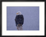 American Bald Eagle in Snow  Alaska