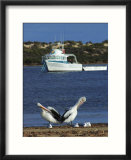 Pelicans and Seagulls with Boat  Eyre Peninsula  Baird Bay  South Australia