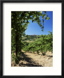 View from Vineyard of the Town of San Gimignano  Tuscany  Italy
