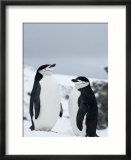 Chinstrap Penguins (Pygoscelis Antarcticus)  Half Moon Island  Antarctic Peninsula  Weddell Sea