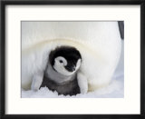 Emperor Penguin Chick (Aptenodytes Forsteri)  Snow Hill Island  Weddell Sea  Antarctica