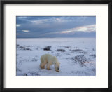 Polar Bears (Ursus Maritimus)  Churchill  Hudson Bay  Manitoba  Canada