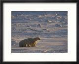 Polar Bear Cubs (Ursus Maritimus)  Churchill  Hudson Bay  Manitoba  Canada
