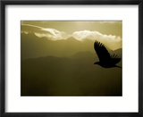 Silhouette of Bald Eagle Flying Against Mountains and Sky  Homer  Alaska  USA