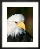 Close Portrait of a Bald Eagle  Alaska