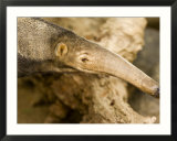 Giant Anteater Closeup