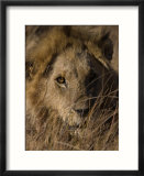 Lion  Panthera Leo  Moremi Wildlife Reserve  Botswana  Africa