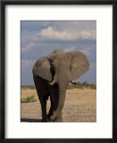 African Elephant  Loxodonta Africana  Savuti  Chobe National Park  Botswana  Africa